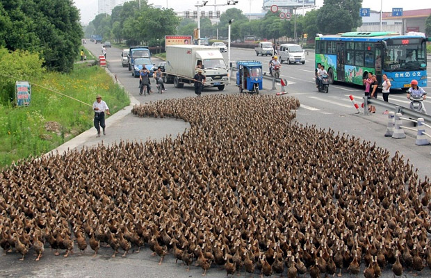 5,000 Ducks On Their Way To A Pond