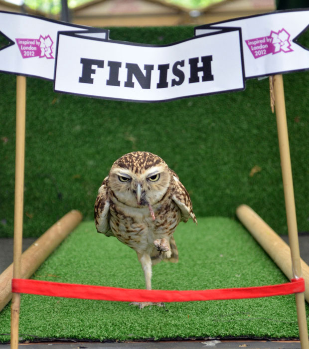Bob The Owl Has Reluctantly Run The 100 Centimeter Sprint