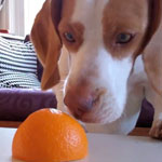 Dog versus Orange