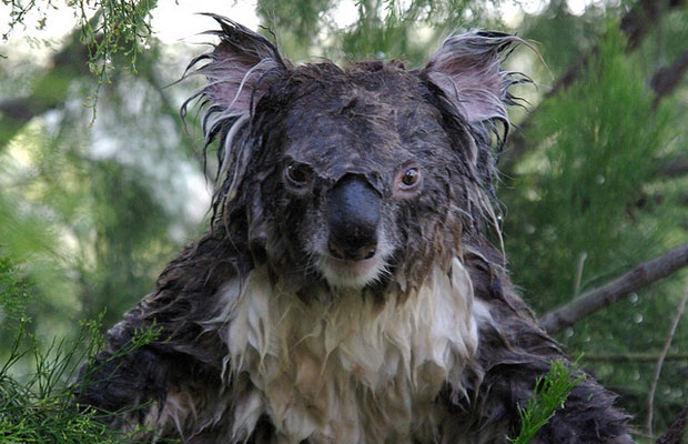 This Is What A Wet Koala Looks Like